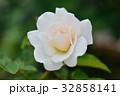 バラ 花 薔薇の写真 32858141