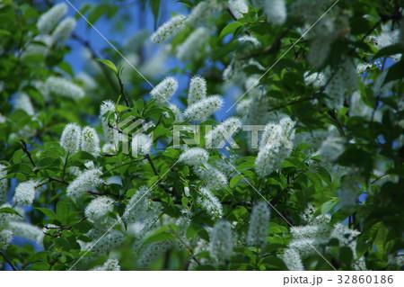 上溝桜 ウワミズザクラ 花言葉は「心の美」 32860186