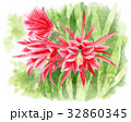 クジャクサボテンの花(赤) 32860345