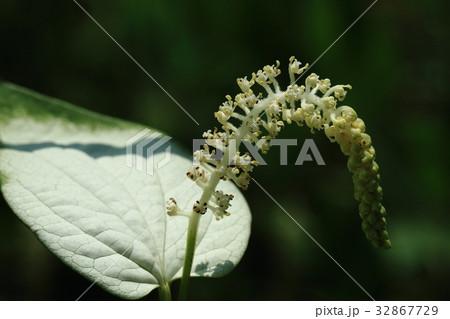 自然 植物 ハンゲショウ 名前は季節の 半夏生 からとか一部白くなる