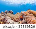 イソギンチャクに住むカクレクマノミ 沖縄県・慶良間諸島・座間味の海 32869329