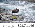 川で鮭を狙うヒグマ(知床) 32871146