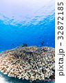 サンゴに住むデバスズメダイ 沖縄県・慶良間諸島・座間味の海 32872185
