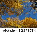 青空と黄葉と化した銀杏 32873734