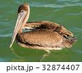 Brown Pelican in the Sea, Yucatan, Mexico 32874407