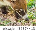 White-nosed coati in the wild, Yucatan, Mexico 32874413