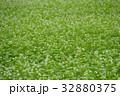 蕎麦の花 32880375