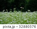 蕎麦の花 32880376