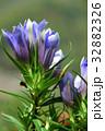 リンドウ 竜胆 花の写真 32882326