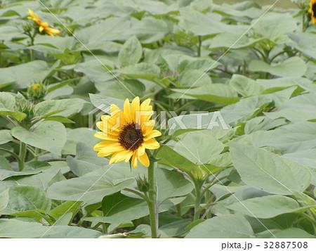 夏に良く会うヒマワリの黄色い花 32887508