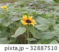 夏に良く会うヒマワリの黄色い花 32887510
