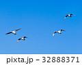 白鳥 野鳥 鳥の写真 32888371