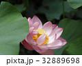 蓮の花 32889698