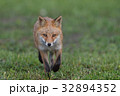 キタキツネ 子ギツネ 狐の写真 32894352