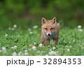キタキツネ 子ギツネ 狐の写真 32894353