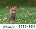 キタキツネ 子ギツネ 狐の写真 32894354