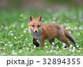 キタキツネ 子ギツネ 狐の写真 32894355