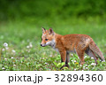 キタキツネ 子ギツネ 狐の写真 32894360