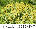 花 ひまわり 満開の写真 32894547
