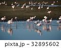 ウォルビスベイ フラミンゴ 群れの写真 32895602