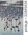 ウォルビスベイ フラミンゴ 群れの写真 32895636