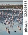 ウォルビスベイ フラミンゴ 群れの写真 32895638