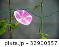 花柄の変わった、朝顔・アサガオ  32900357