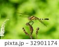 トンボ ムギワラトンボ シオカラトンボの写真 32901174