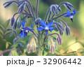 花 ボリジ ハーブの写真 32906442