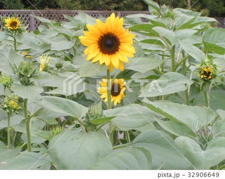夏に良く会うヒマワリの黄色い花 32906649