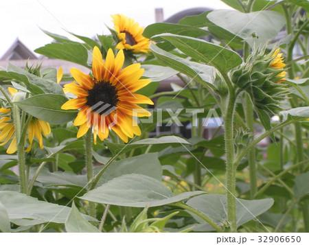 夏に良く会うヒマワリの黄色い花 32906650