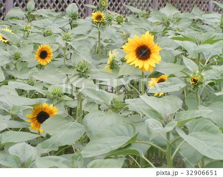 夏に良く会うヒマワリの黄色い花 32906651