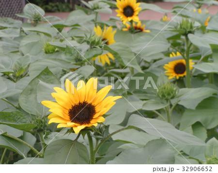 夏に良く会うヒマワリの黄色い花 32906652