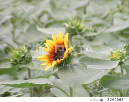 夏に良く会うヒマワリの黄色い花 32906654