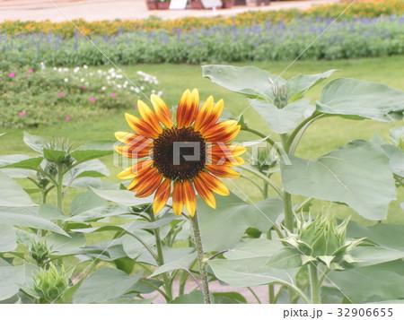 夏に良く会うヒマワリの黄色い花 32906655