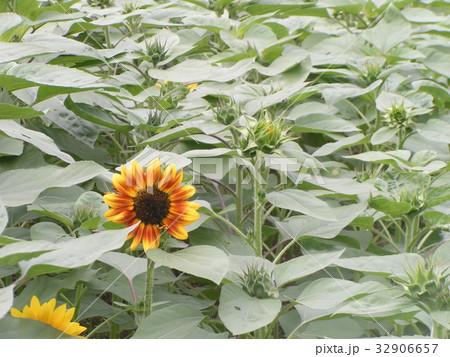 夏に良く会うヒマワリの黄色い花 32906657