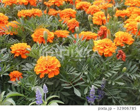 初夏から秋まで咲くマリーゴールドのオレンジ色の花 32906785