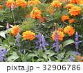 初夏から秋まで咲くマリーゴールドのオレンジ色の花 32906786