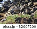 野生のアザラシ 32907200