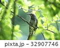 ヒヨドリ 32907746