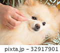 綿棒で目ヤニを取ってもらう犬 32917901