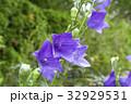 夏のガーデンに咲いた桔梗 32929531