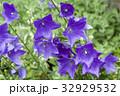 夏のガーデンに咲いた桔梗 32929532