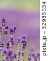 ラベンダー 花 植物の写真 32935034