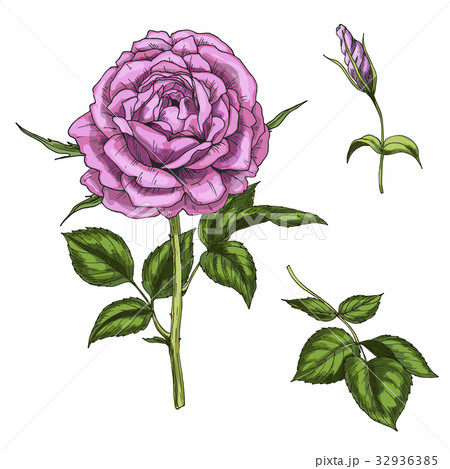 Set with rose flower, leaves and stems isolated 32936385