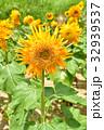 マティス 向日葵 ひまわり畑の写真 32939537