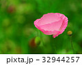 花 ピンク色 ポピーの写真 32944257