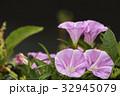 昼顔 ヒルガオ 花の写真 32945079