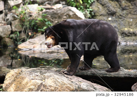 asiatic black bearの写真素材 32945186 pixta