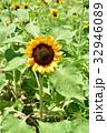 ひまわり 向日葵 ひまわり畑の写真 32946089